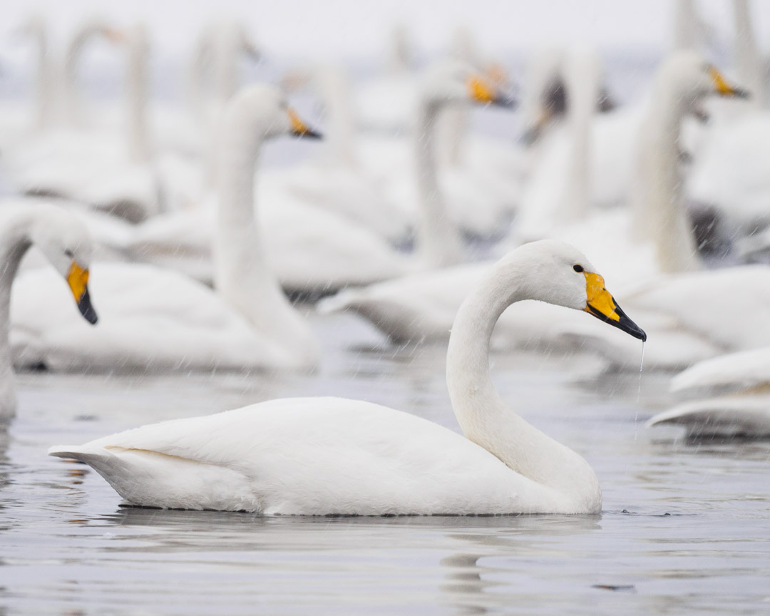 Whooper swans at Lake Kussharo