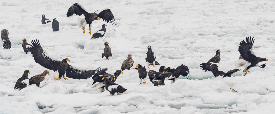 Steller's Sea Eagles fighting at Lake Furen