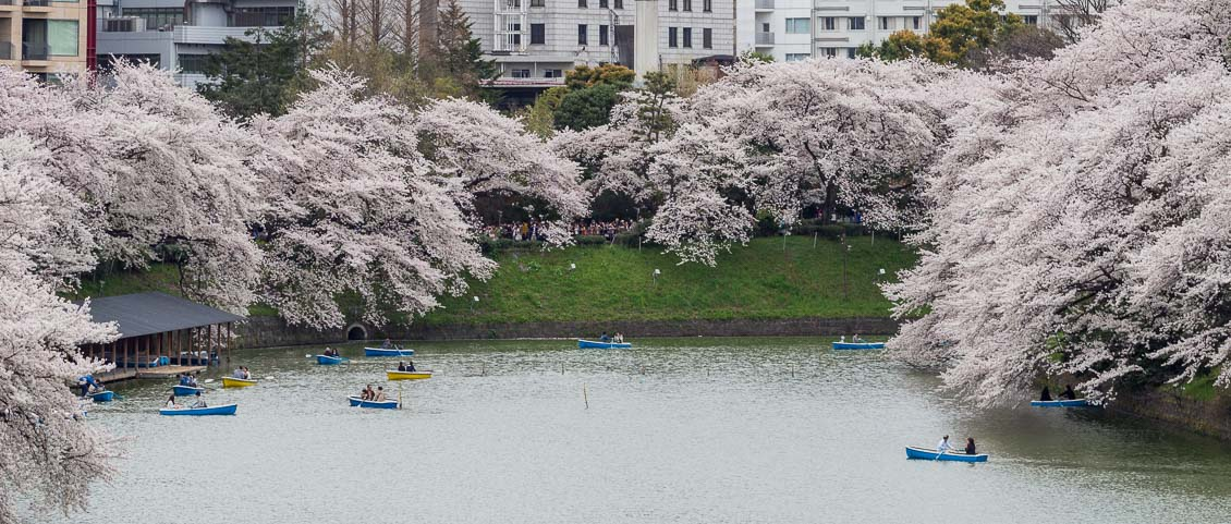 Cherry blossoms in bloom around Chidorigafuchi moat in Tokyo.